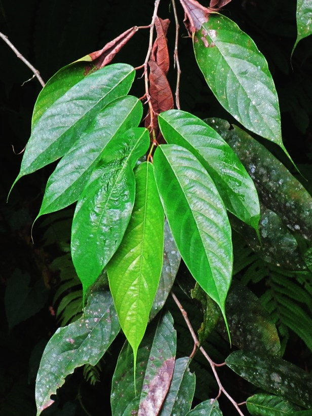 01 Ficus baccarii IMG_1312