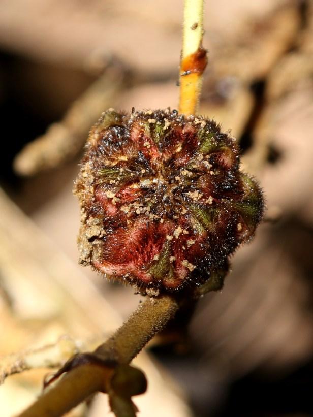 02 Ficus beccarii female