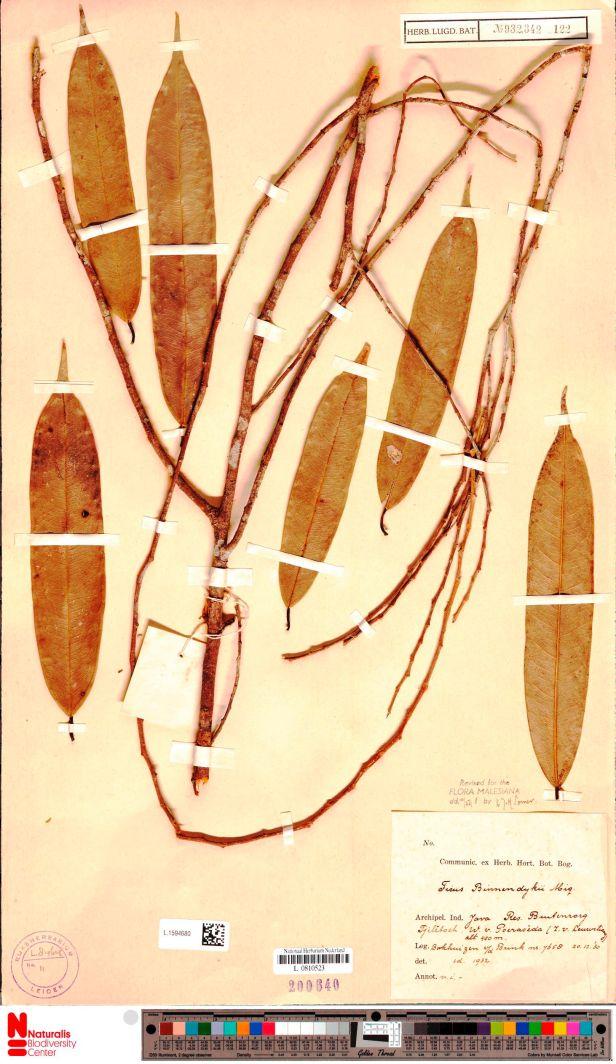 02  Ficus binnedndijkii Bogor L.1594680.jpg