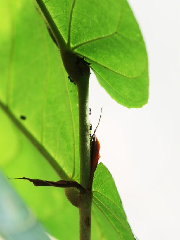 02 Ficus megleia 0C7A5437.JPG