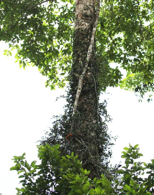 02 Ficus puncata 0C7A6516.JPG