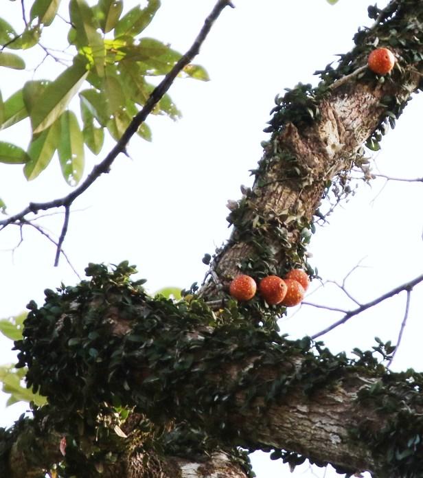 02 Ficus punctata male 0C7A6019