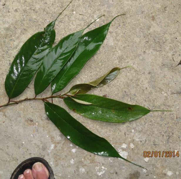 03 Ficus beccarii IMG_7443.JPG