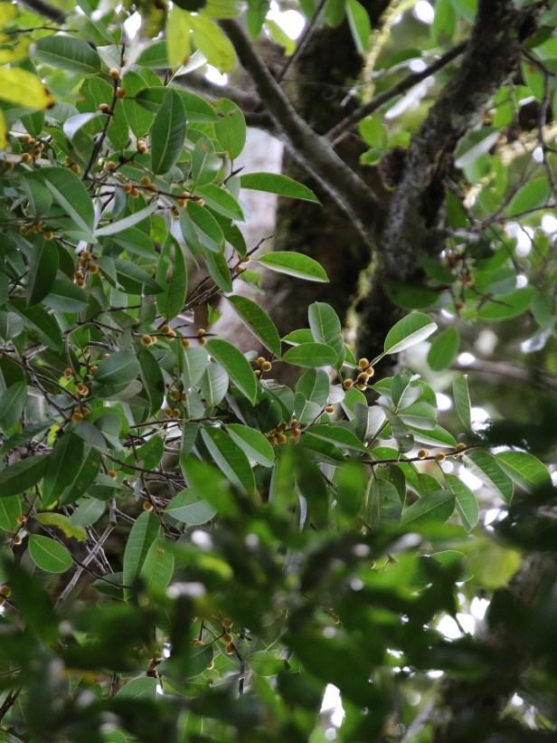 03 Ficus kerkhovenii 0C7A6479.JPG