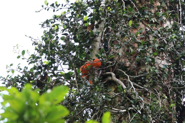 03 Ficus punctata 0C7A6513