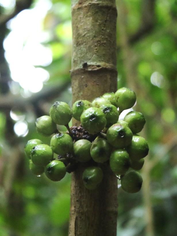 03 Ficus tarennifolia  7A4998.JPG
