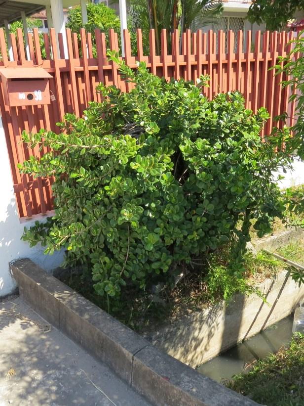 04 Ficus microcarpa bonsai KK IMG_1707.JPG