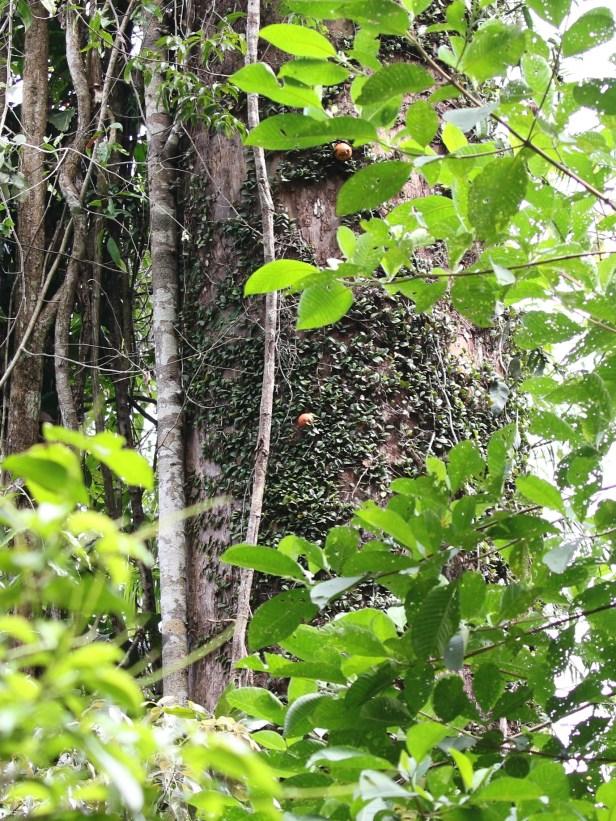04 Ficus punctata 0C7A6753.JPG
