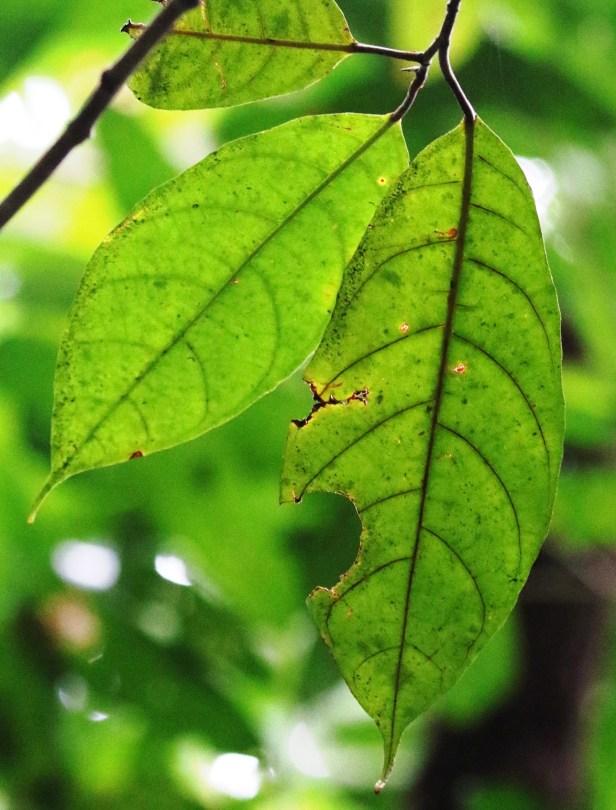 04 Ficus tarennifolia 0C7A5013.JPG