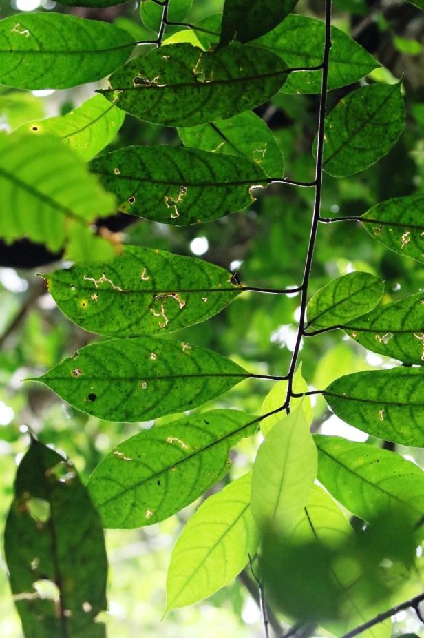 05 Ficus tarennifolia 0C7A5017.JPG