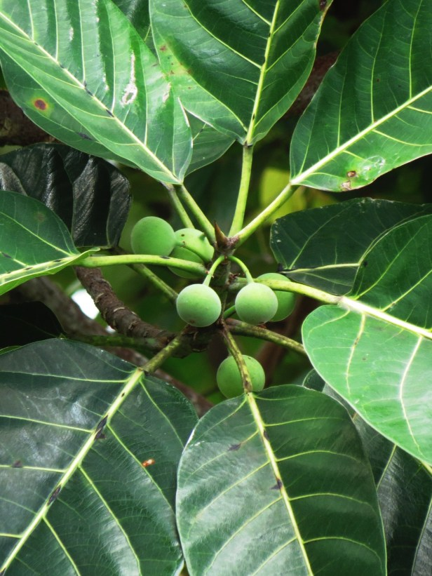 Ficus callosa IMG_3202.JPG