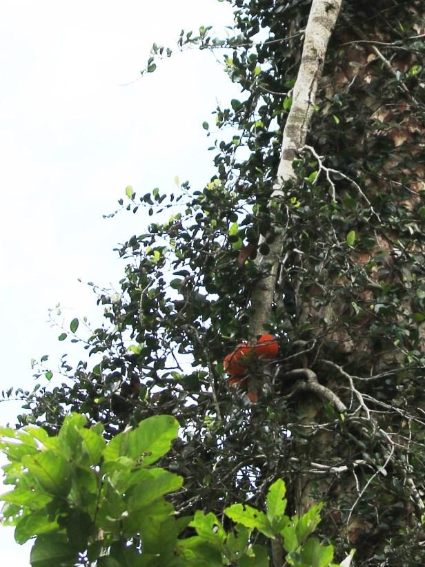 Ficus punctata 04 0C7A6516.JPG