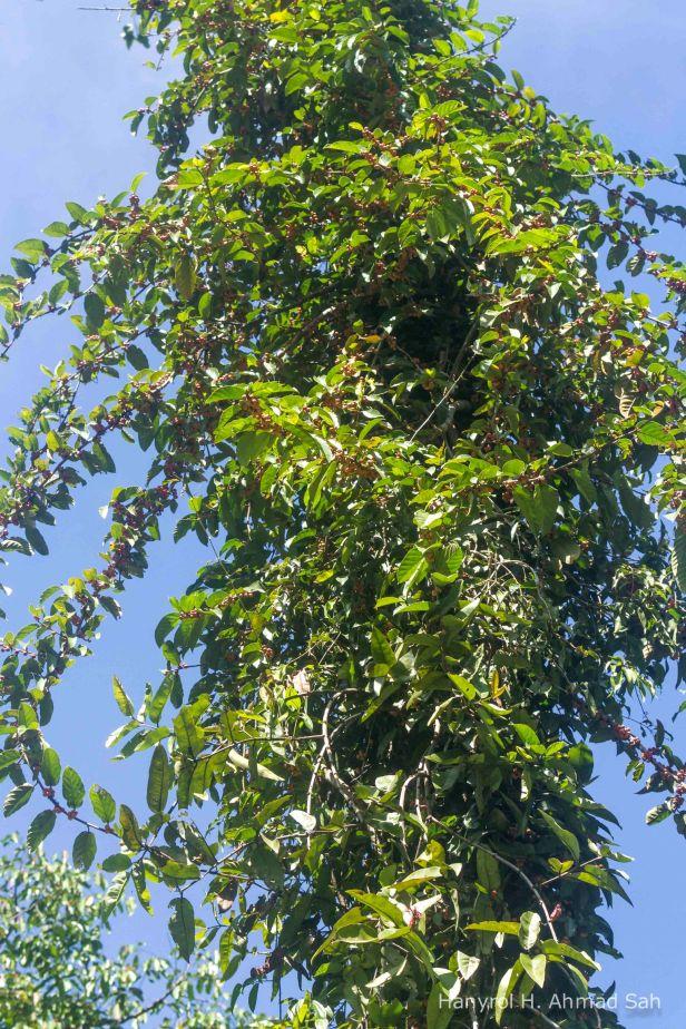 Ficus traichocarpa Brunei_9445-2.jpg