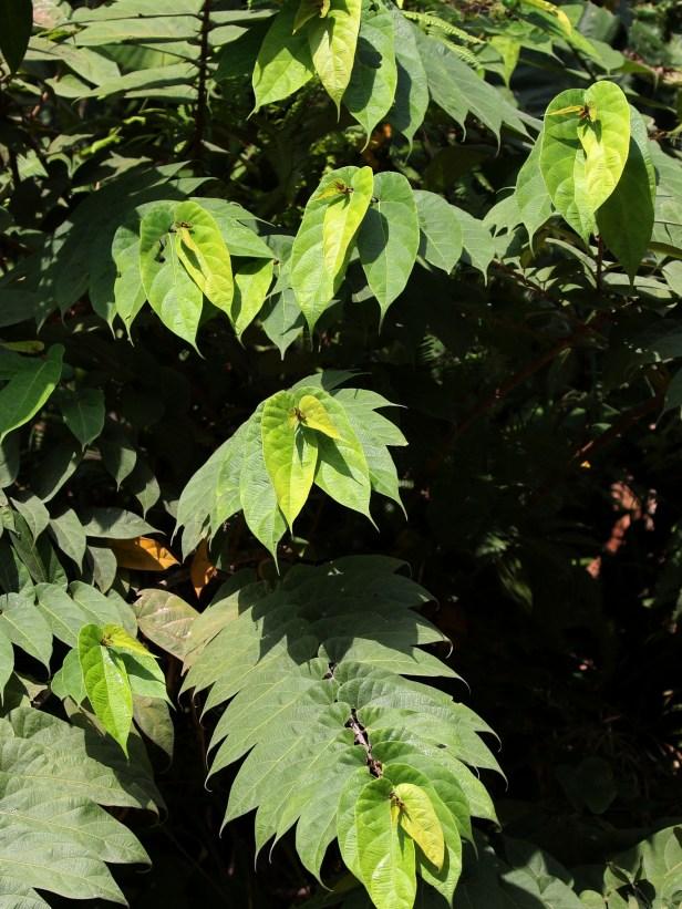 Ficus uncinata 07 0C7A5361.JPG