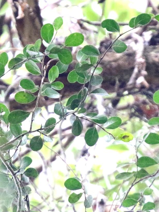 01 Ficus barberjovis 0C7A7563.JPG