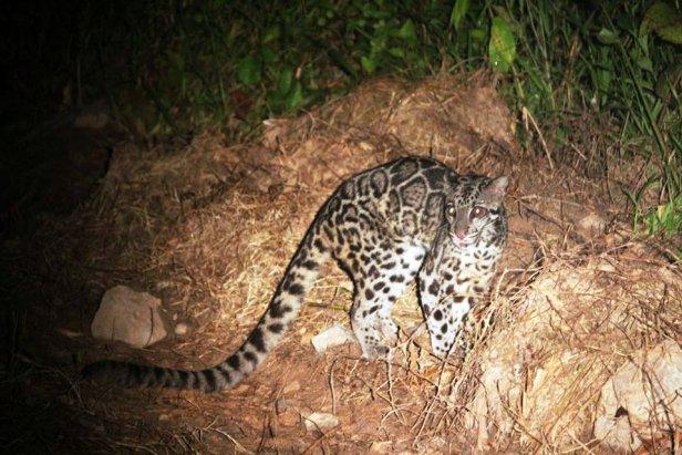 04 Shavez Cheema Deramakot Clouded Leopard