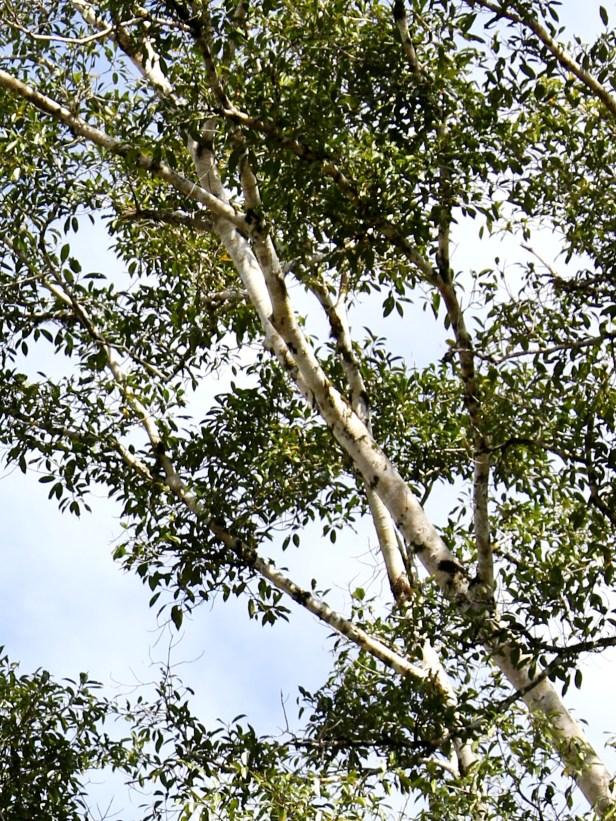 Ficus lawesii 08 3Y3A2144