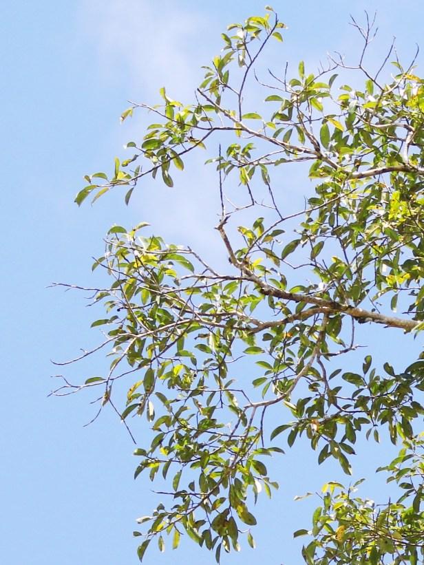 Ficus lawesii Maliau 3Y3A2148.JPG