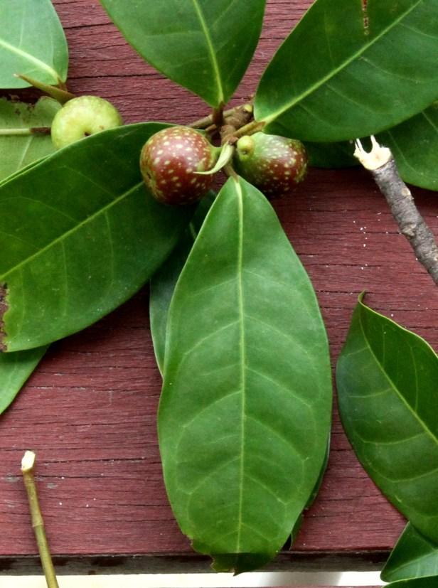 Ficus tengerensis Maratua IMG_3019