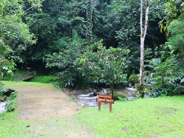 Ficus densechini Sayap IMG_0785.JPG