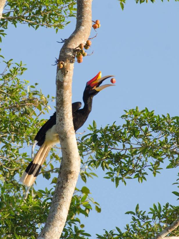 Rhinoceros Hornbill and Ficus racemosa  Mike gordon.jpg