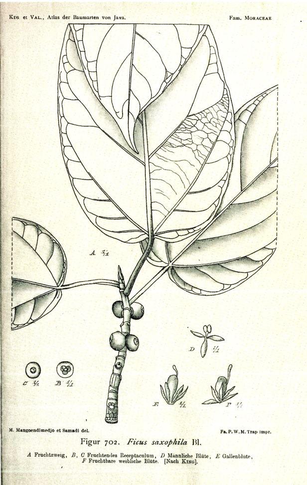 02 Ficus saxophila  Java Atlas  - Copy.jpg