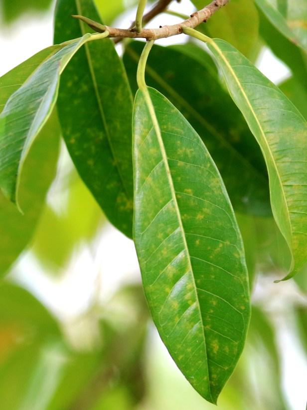 06 Ficus kerkhovenii IMG_0099.JPG