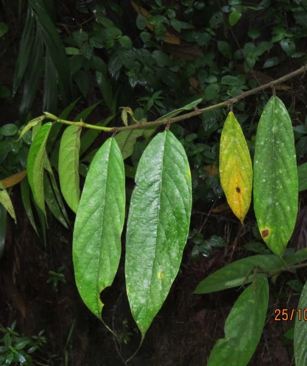 08 Ficus treubii Male leaves IMG_0219.JPG