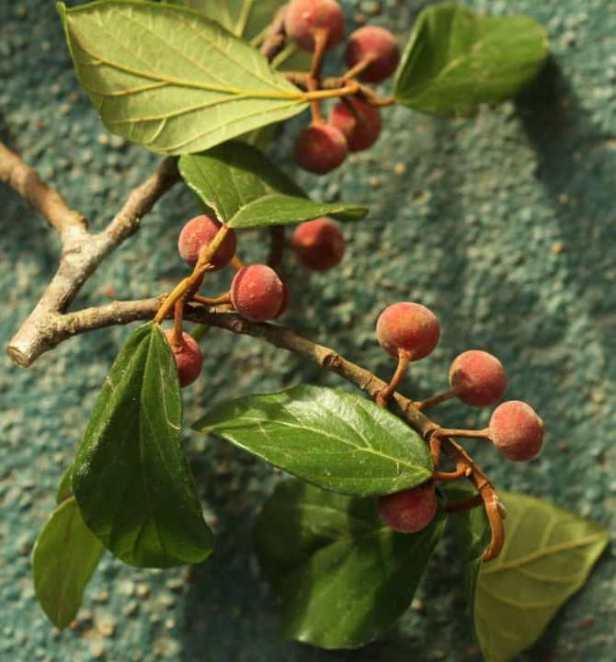 Ficus glandulifera IMG-20190625-