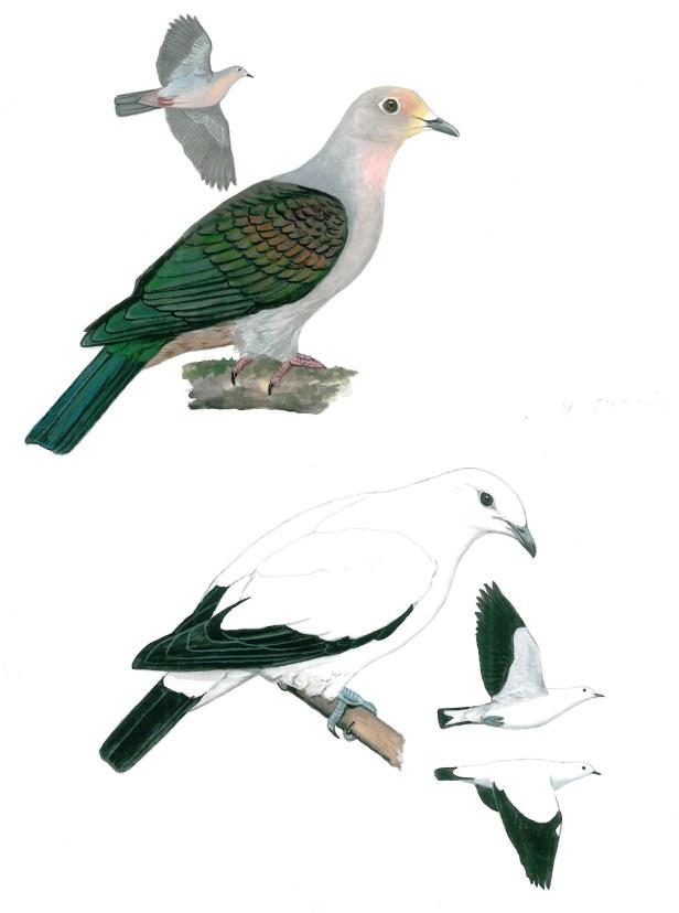 Imperial Pigeons KP 2nd ed - Copy.jpg