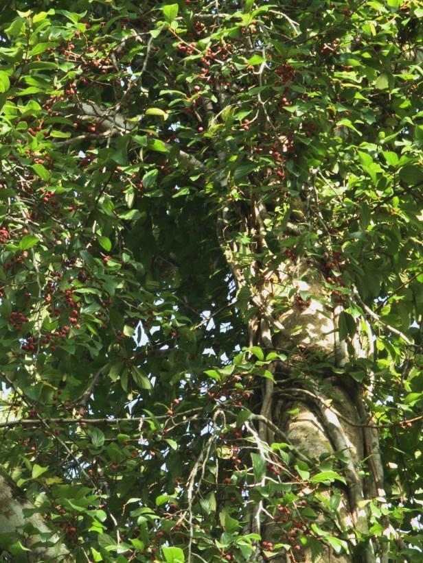 04 Ficus trichocarpa at Tabin IMG_3788.JPG