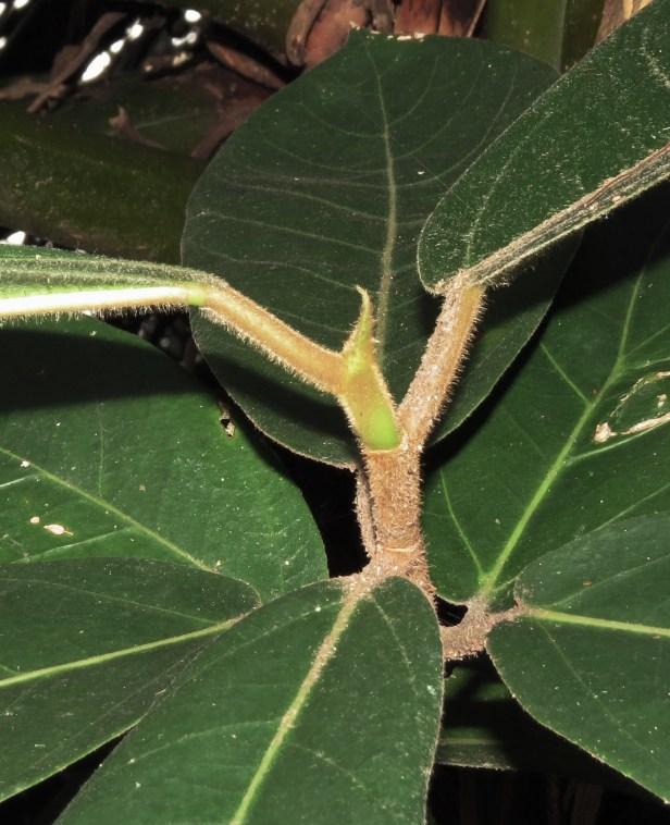Ficus drupacea IMG_6853.JPG