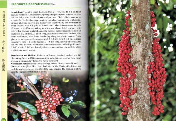 Baccaurea odoratissima.jpg