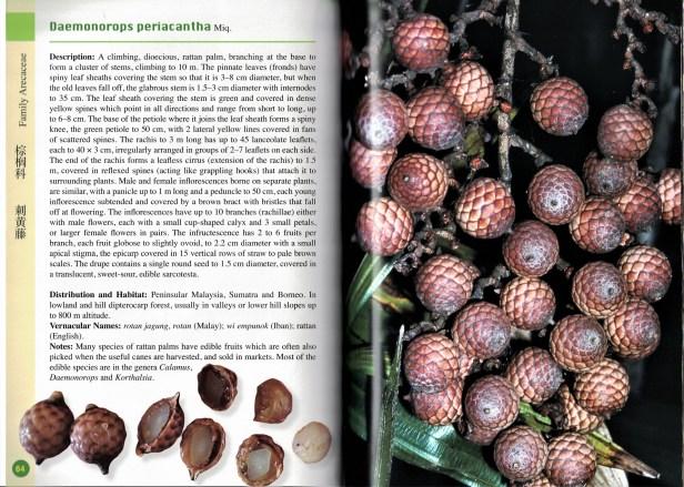 Daemonorops periacantha
