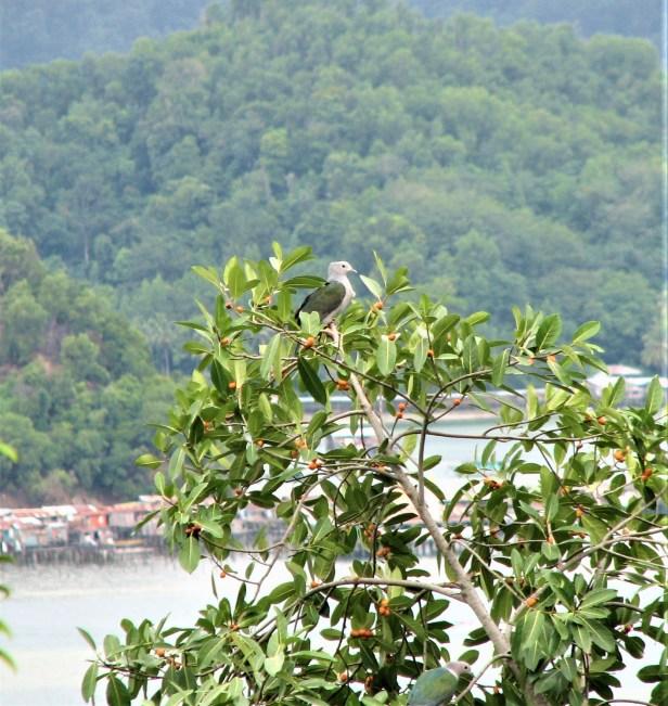 01 Ficus drupacea Signal Hill IMG_1709