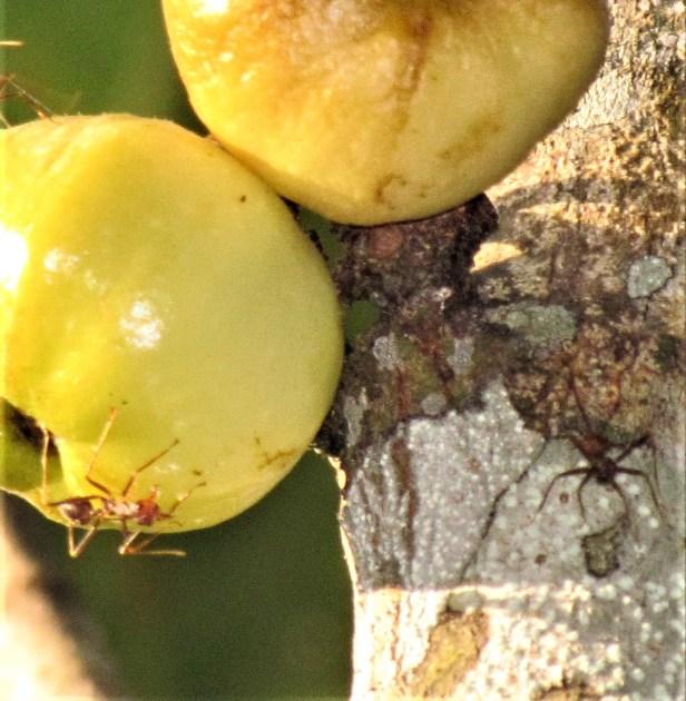02 Ficus fistulosa IMG_0262