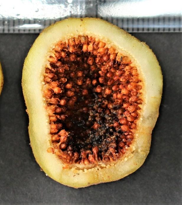 02 Ficus lepicarpa 3Y3A0491
