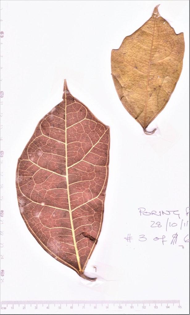 03 Poring Ficus A 03 111028 001.jpg