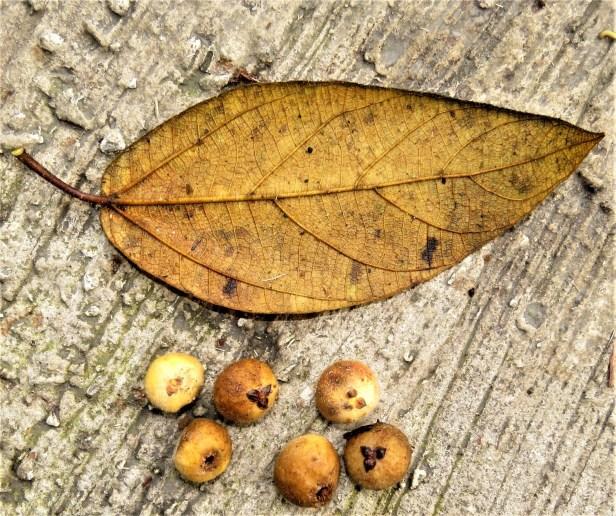 01 Ficus brunneioaurata IMG 8927.JPG