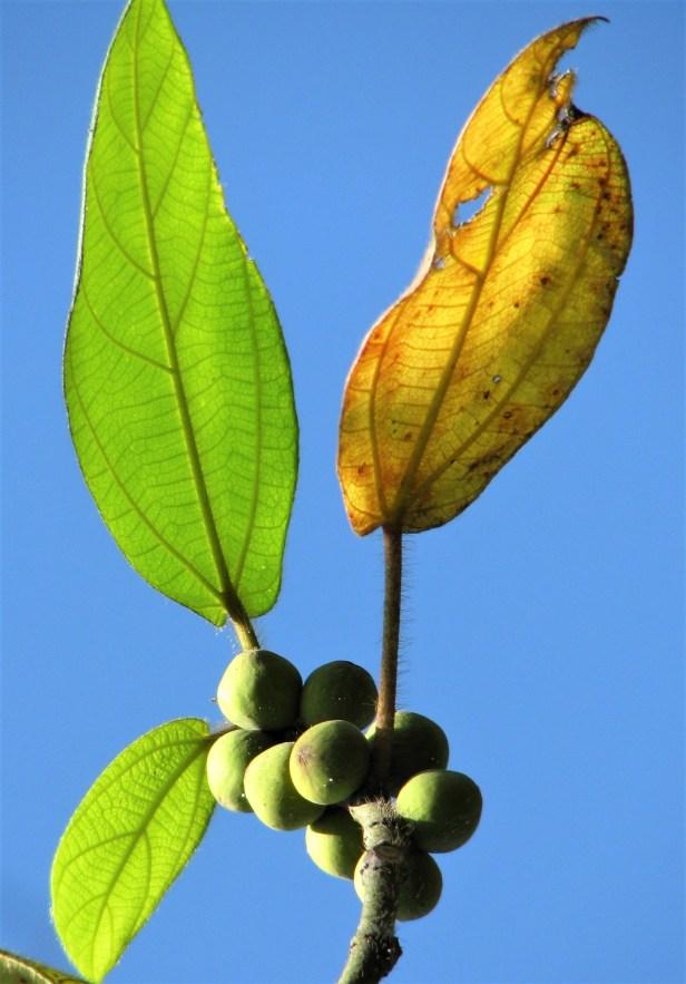 01 Ficus brunneoaurata IMG_5919.jpg