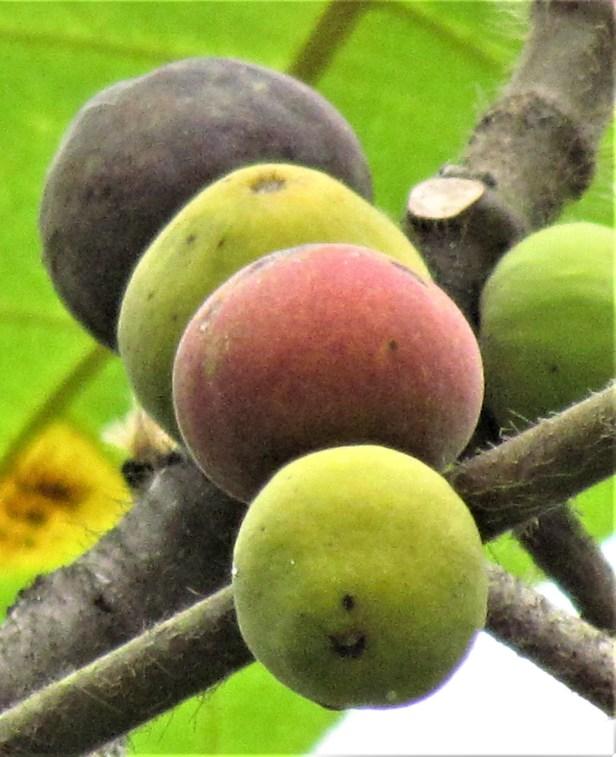 02 Ficus brunneoaurata IMG_9237.JPG