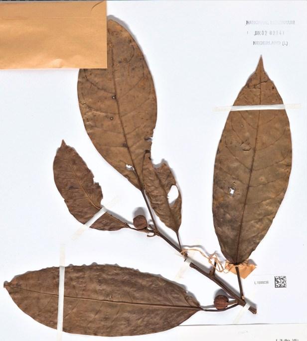 02 Ficus nervosa Bau Kuching 001362784-L.1599236 - .jpg
