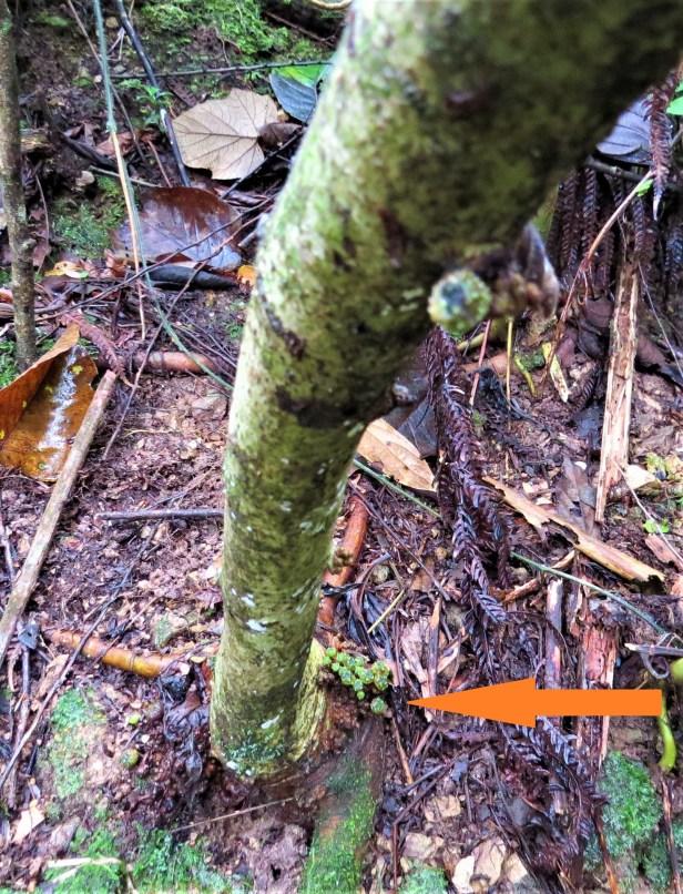 02 Ficus tarrenifolia IMG_3381.JPG