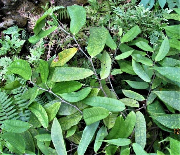 Ficus chartaea IMG_2853.JPG