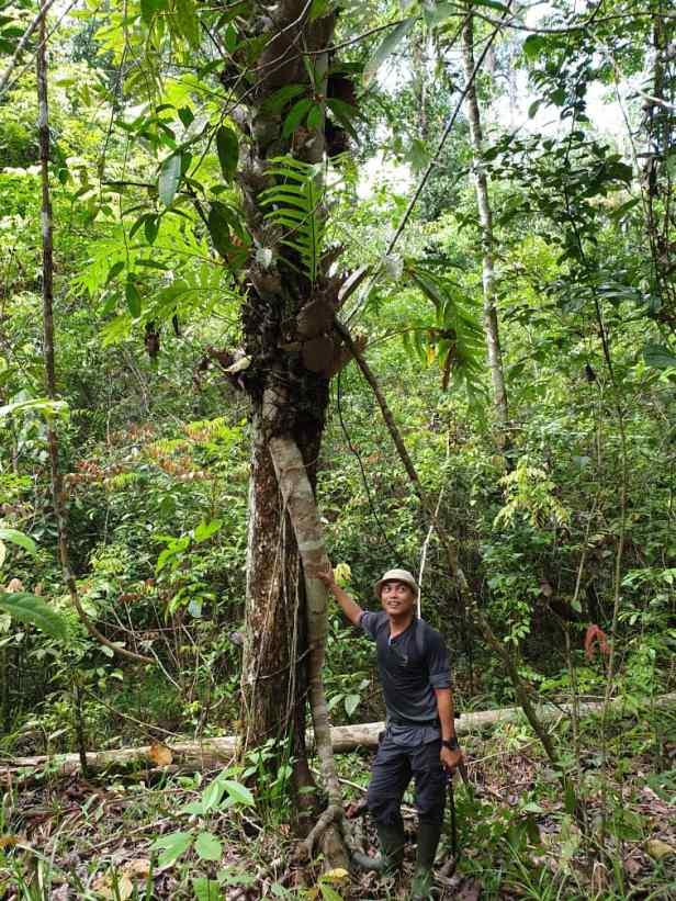 Ficus subcordata IMG-20191029-WA0001.jpg