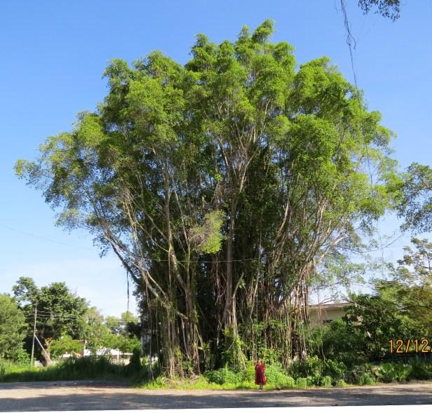 TREE microcarpa enhaced IMG_2823.JPG