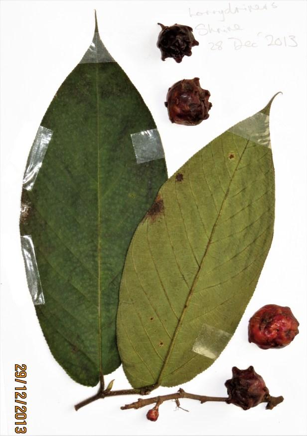 03 Ficus malayana IMG_7078