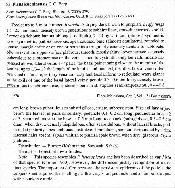 Berg (2005) Ficus kuchinnensis WEB.jpg