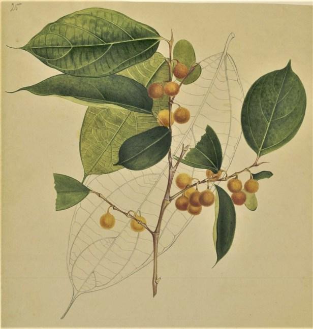 Ficus parietalis 303607