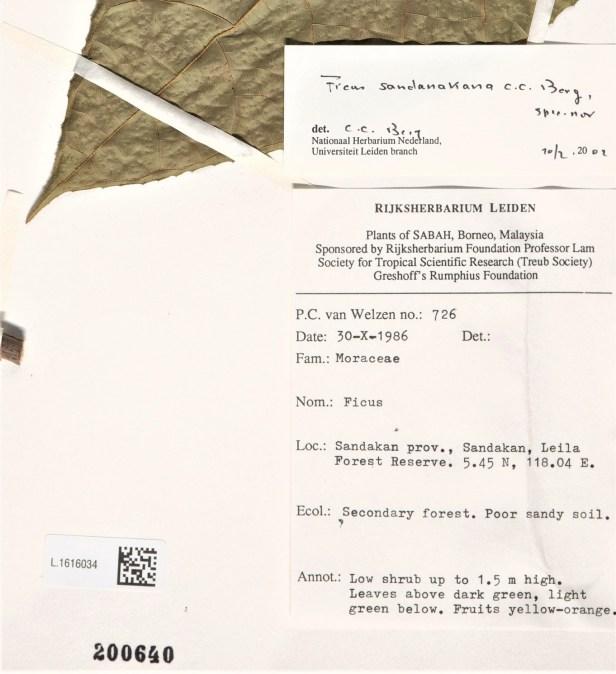 LABEL Van Welzen 1986 Ficus sandanakana 001358898-L.1616034 - WEB